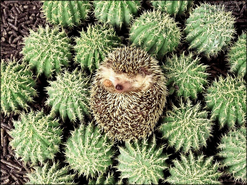 hedgehog_2