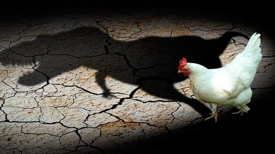 chicken-shadow