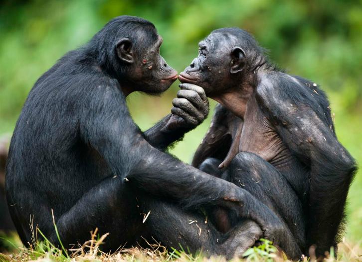 top-5-razloga-zašto-biti-gej-nije-nimalo-okej-bonobo-homoseksualnost