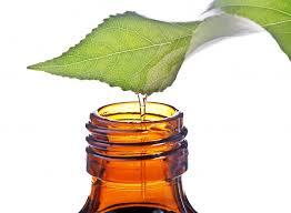 ulje cajevca