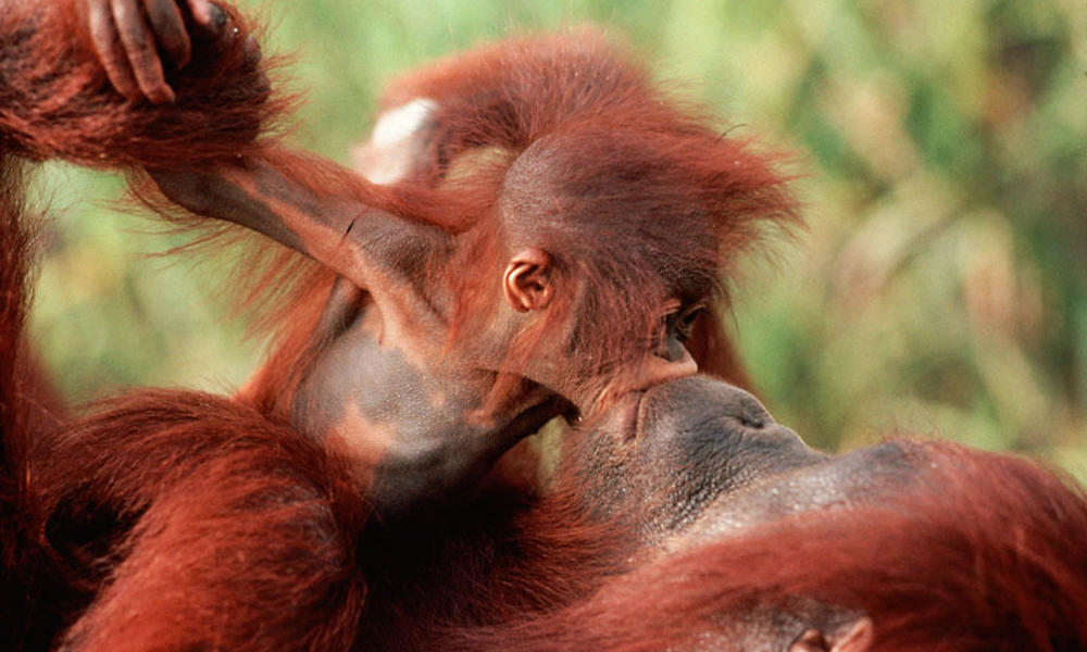 crveni-majmun