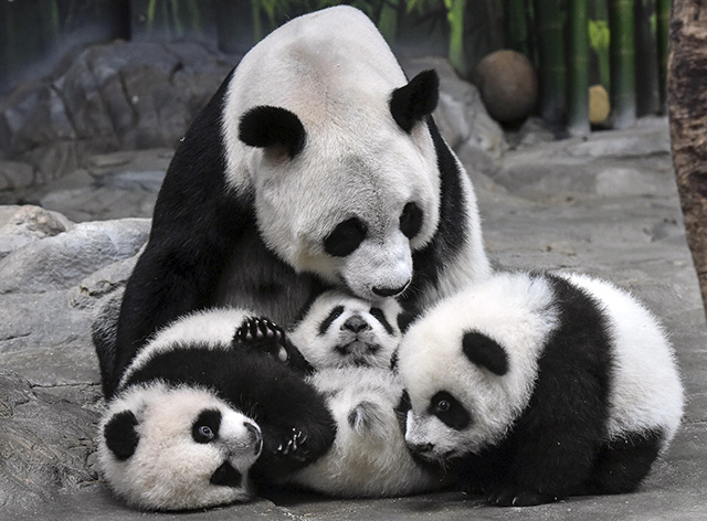 In this photo taken Wednesday Dec. 3, 2014, panda mother Ju Xiao plays with her triplet cubs in the Chimelong Wildlife Park in Guangzhou in south China's Guangdong province. The cubs, born on July 29, are the fourth panda triplets recorded in history and the only living triplets now in the world.(AP Photo) CHINA OUT